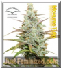 Dutch Passion Mokum's Tulip Fem 10 Weed Seeds